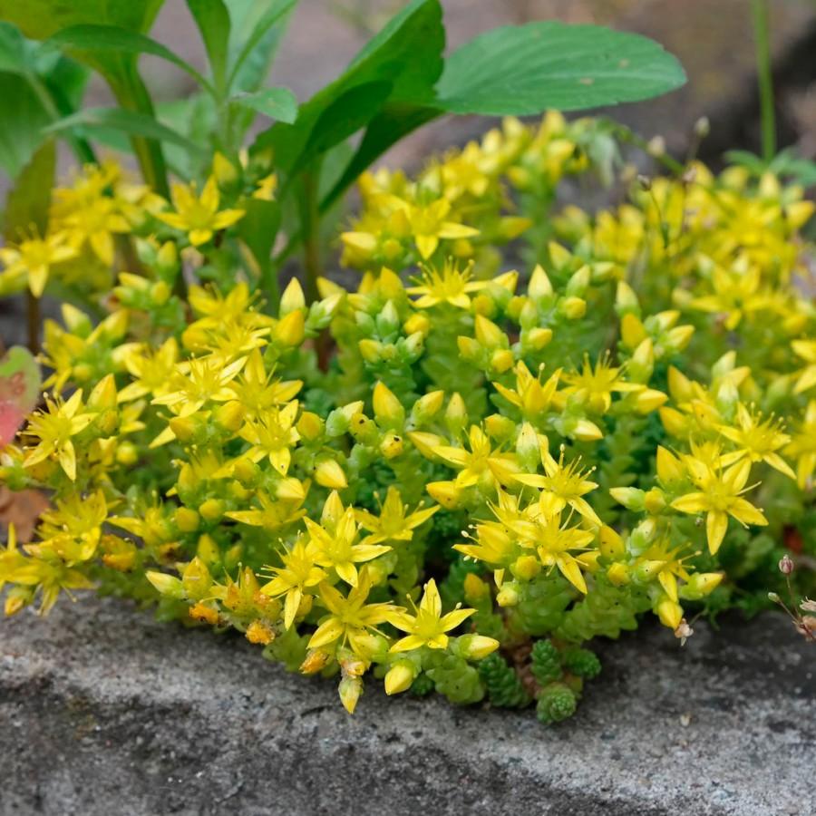 Очиток едкий Ауреум (sedum acre Aureum)