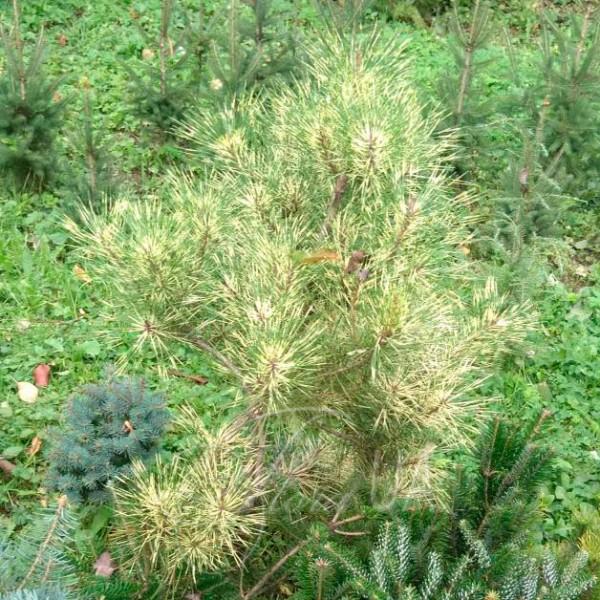 Сосна густоцветковая Окулус-Драконис