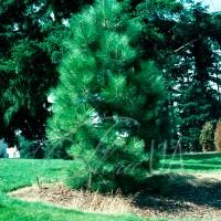 Сосна Джеффри (Pinus jeffreyi)