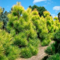 Сосна тунберга Огон (Pinus thunbergii Ogon)