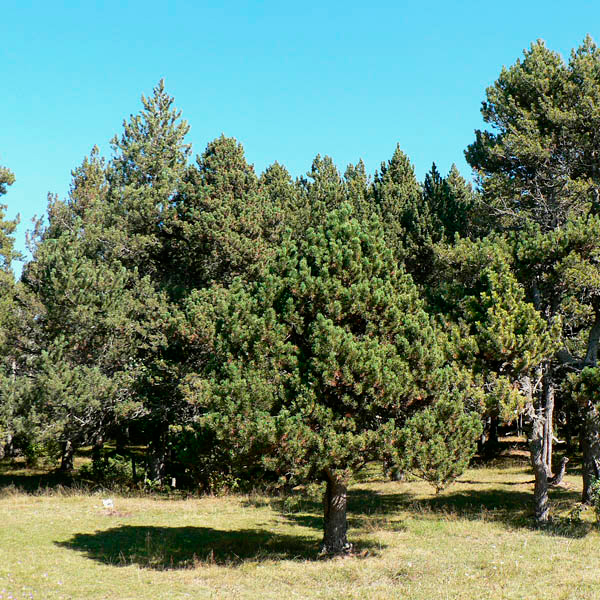 Сосна пиренейская (Pinus uncinata)