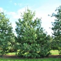 Сосна гималайская (Pinus wallichiana)