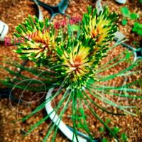 Сосна черная Flora UA (Pinus nigra Flora UA)
