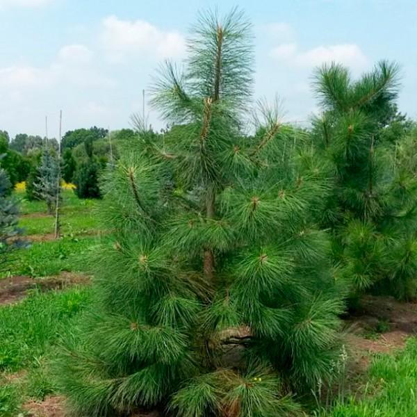 Сосна орегонская (Pinus ponderosa)