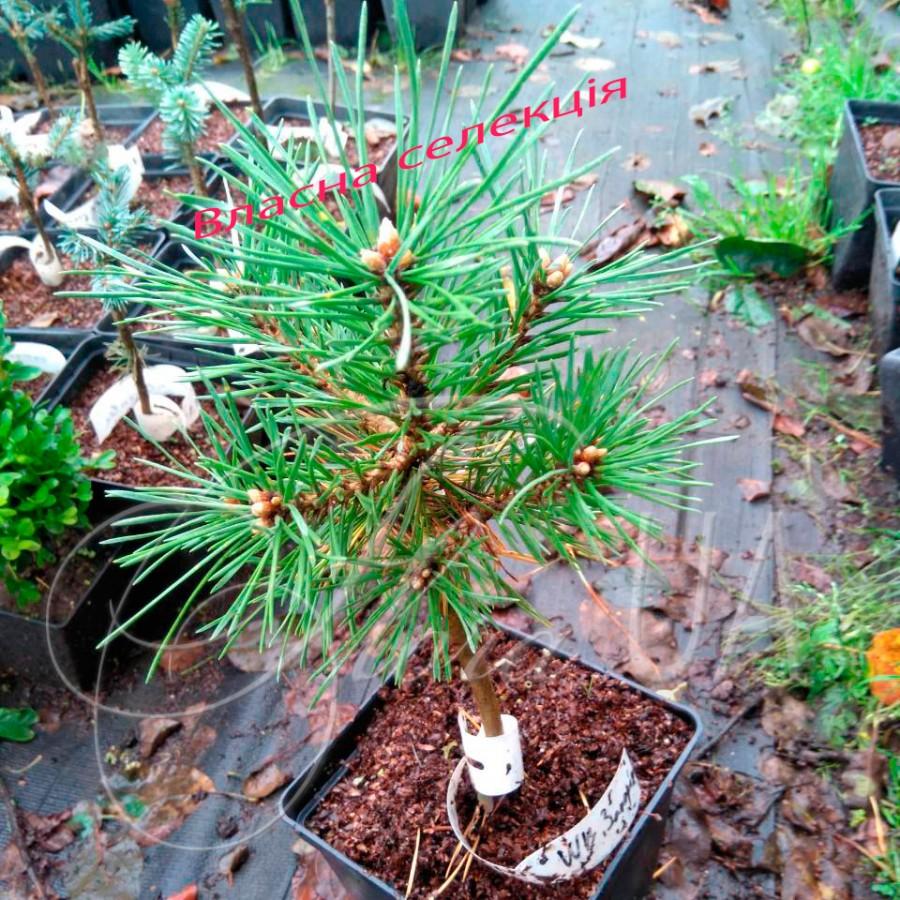 Сосна обыкновенная Сич (Pinus sylvestris Sich)