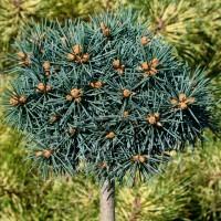 Ель колючая Брайнек (Picea pungens Brynek)