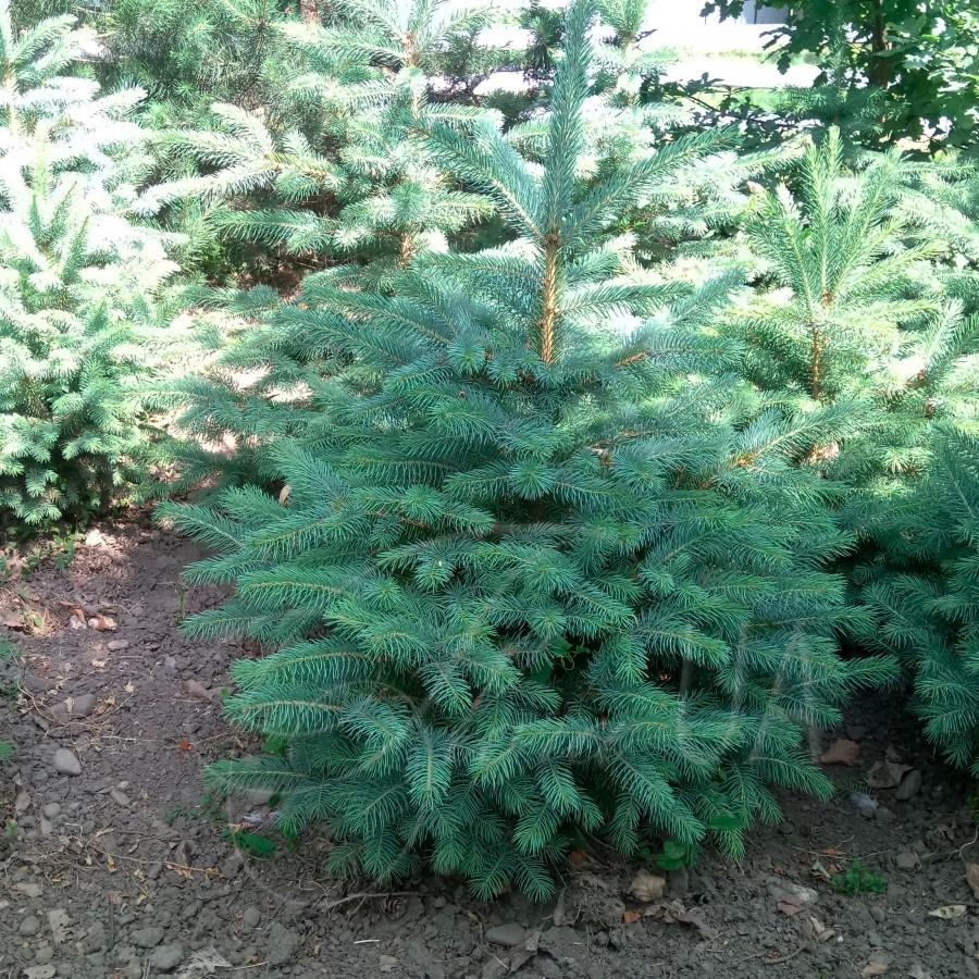 Ель Колючая (Picea Pungens)