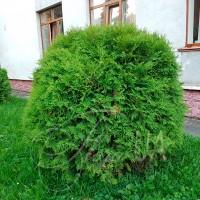 Туя западная Глобоза (thuja occidentalis Globosa)