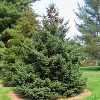 Ель канадская или Ель белая (Picea Glauca)