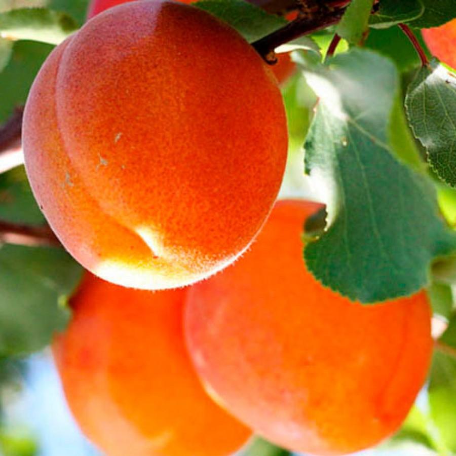 Абрикос Краснощекий (Apricot Red cheeked)