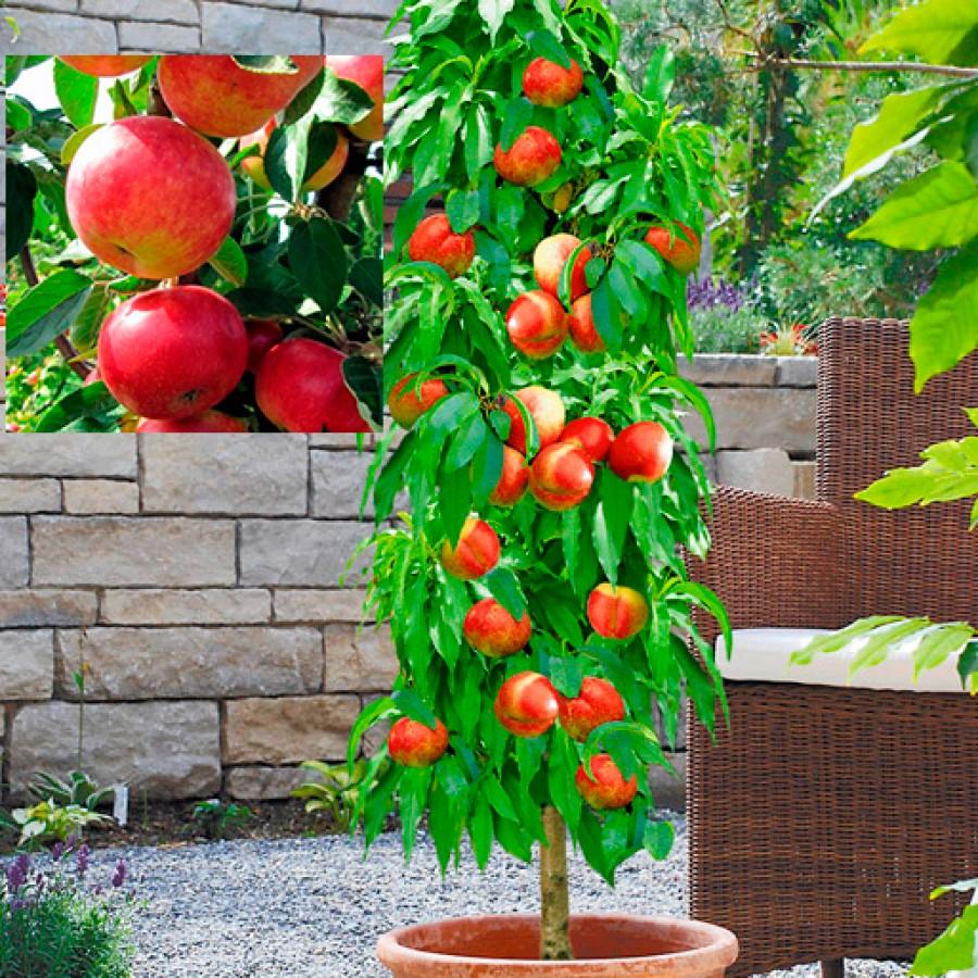 Яблоня колоновидная Джина