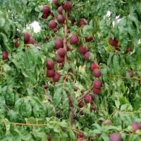 Нектарин Рубиновый 8 (Persica var. Nucipersica)
