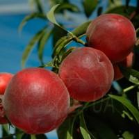 Персик Азорит (Persica Azurite)