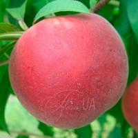 Персик беломякотный Фреш Вайт