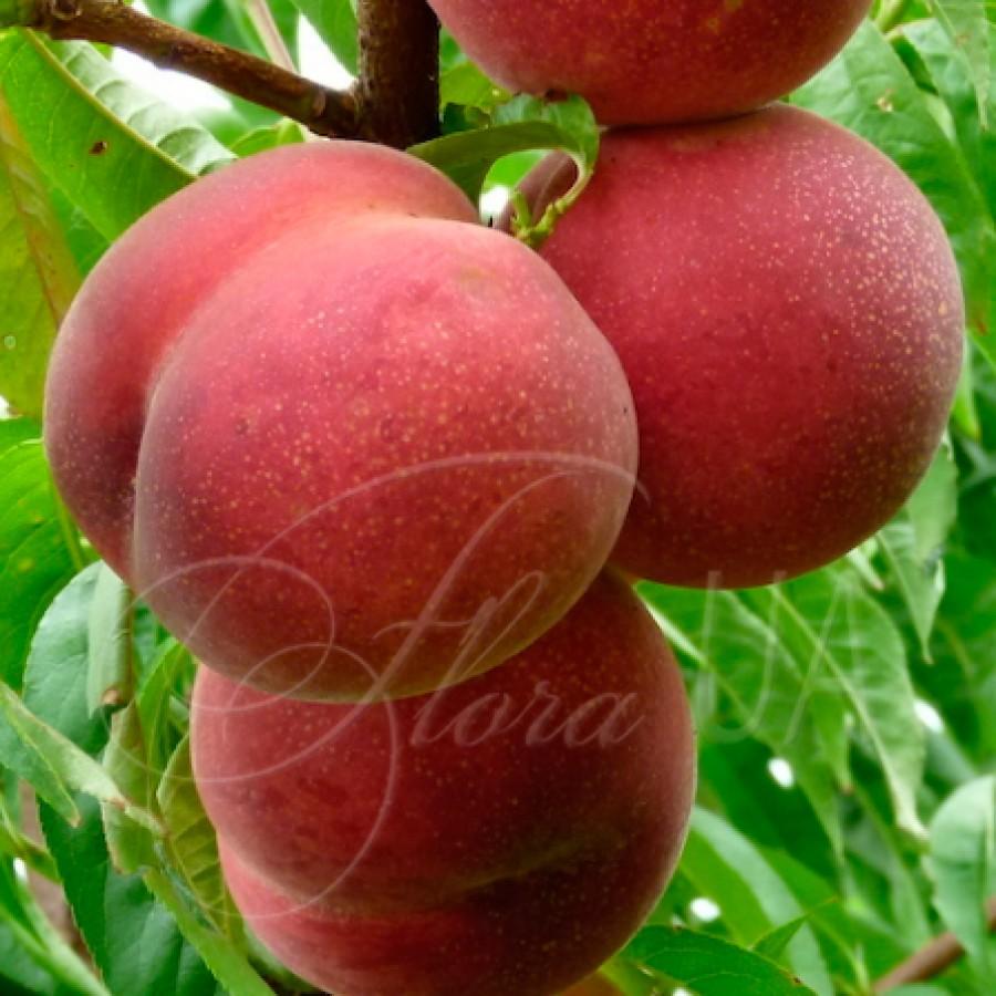 Персик красномякотный Ред Робин