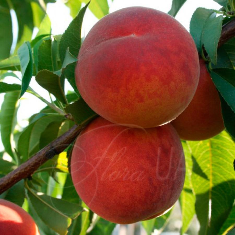 Персик беломякотный Тендресс