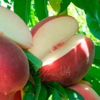Персик беломякотный Вайт леди