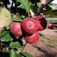 Яблоня красномякотная Эра