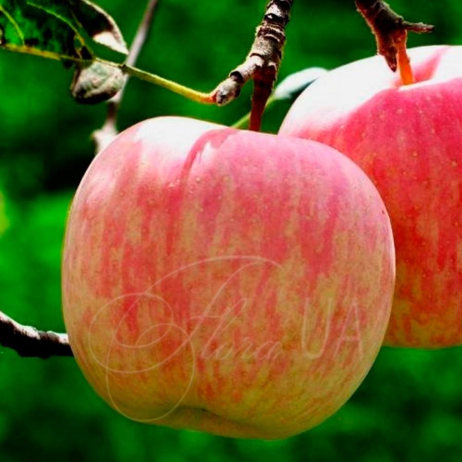 Яблоня Фуджи