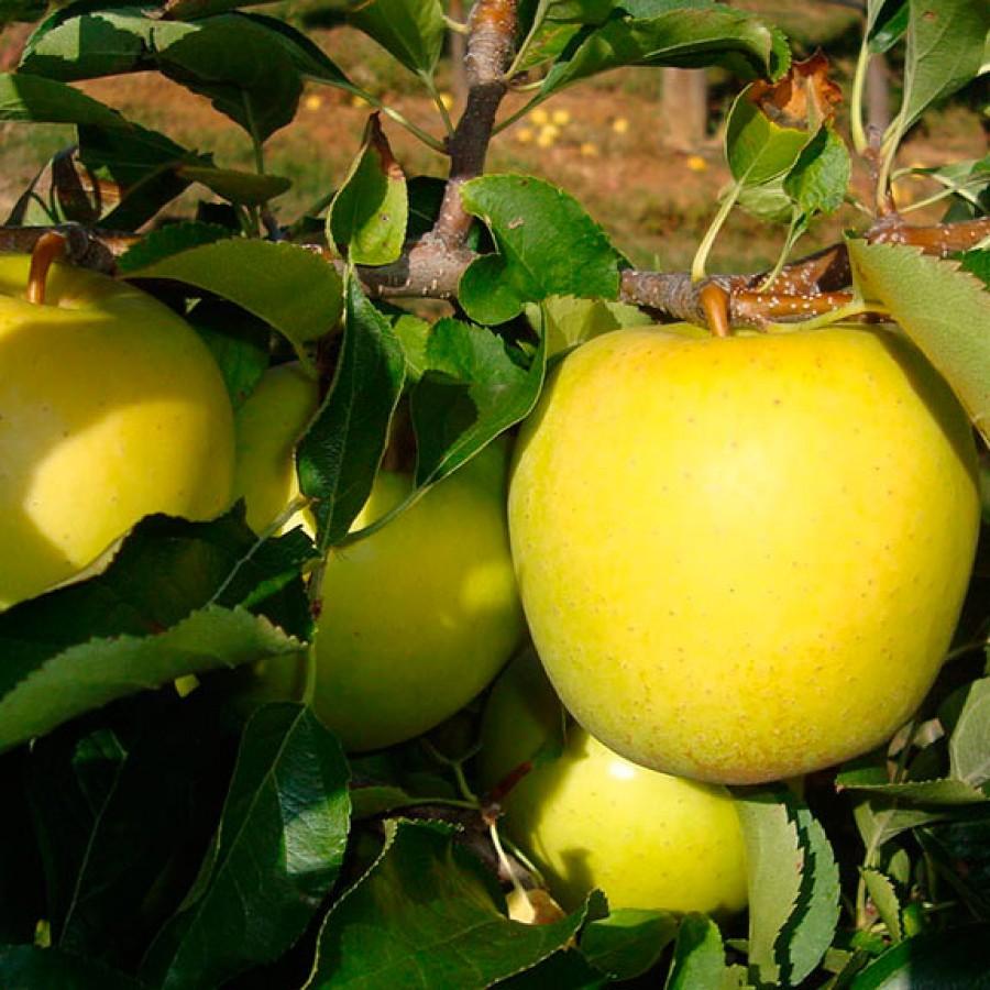 Яблоня Голден Делишес (Golden Delicious)