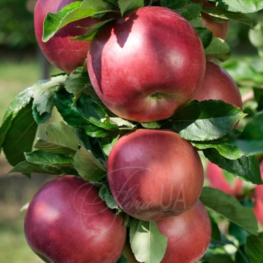 Яблоня Джулия