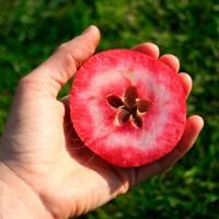 Яблоня красномякотная Одиссо