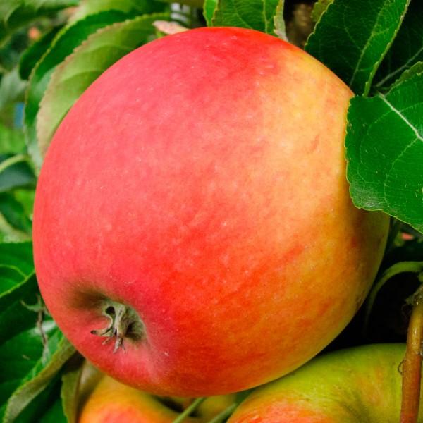 Яблоня Пинова (Pinova)