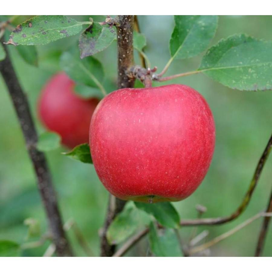 Яблоня райка описание фото отзывы есть обозначенная