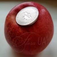 Яблоня Райка (Rajka)
