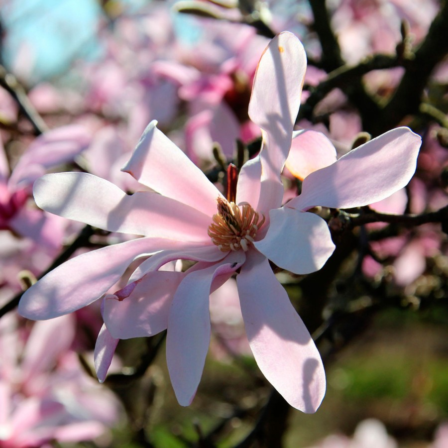 Магнолия Лебнера (Magnolia Loebneri)