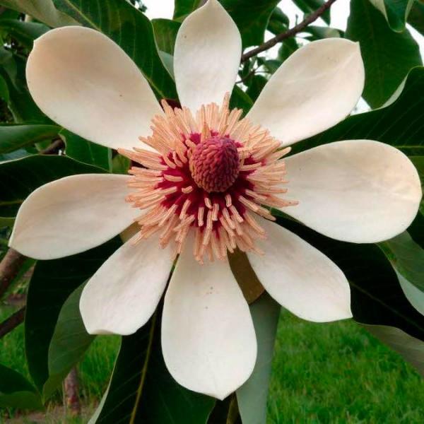 Магнолия обратнояйцевидная (Magnolia obovata)