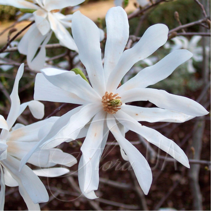 Магнолия Стелата (Magnolia stellata)