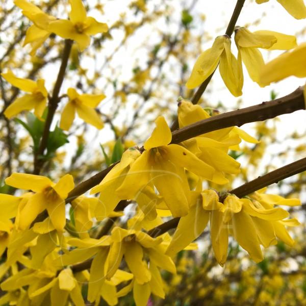 Форзиция зеленеющая (Forsythia viridissima)