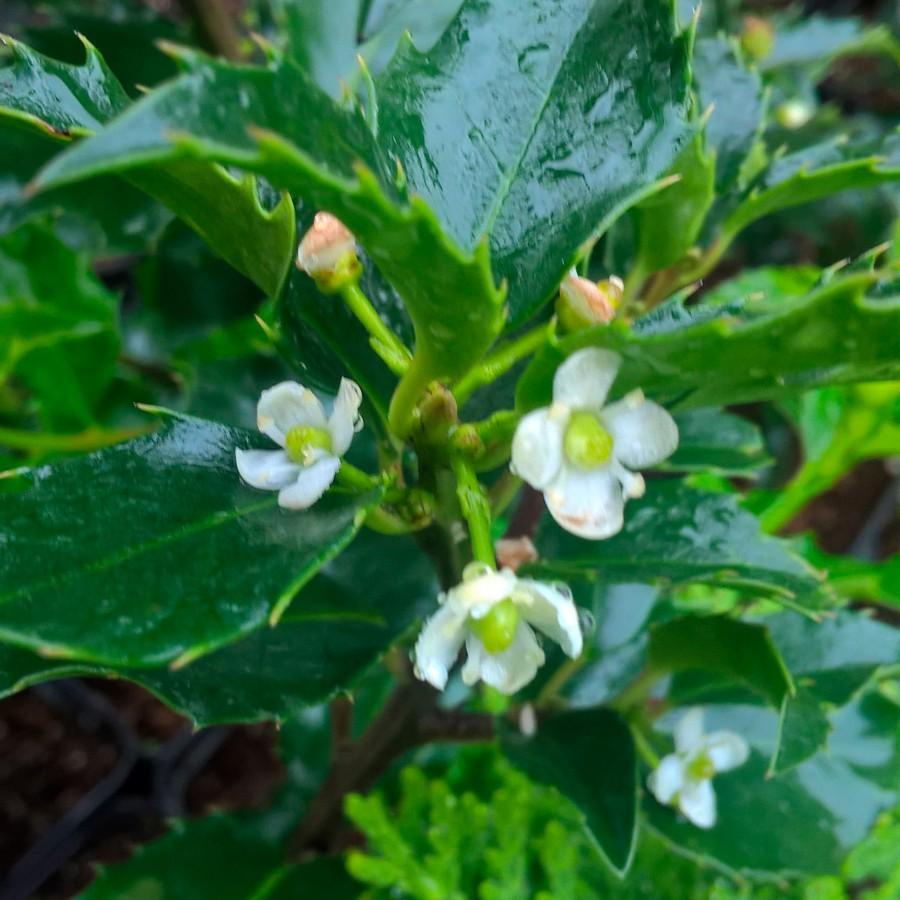 Падуб остролистный (Ilex aquifolium)