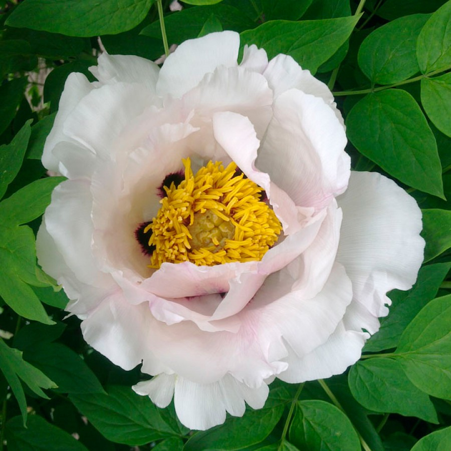 Пион древовидный (Paeonia suffruticosa)