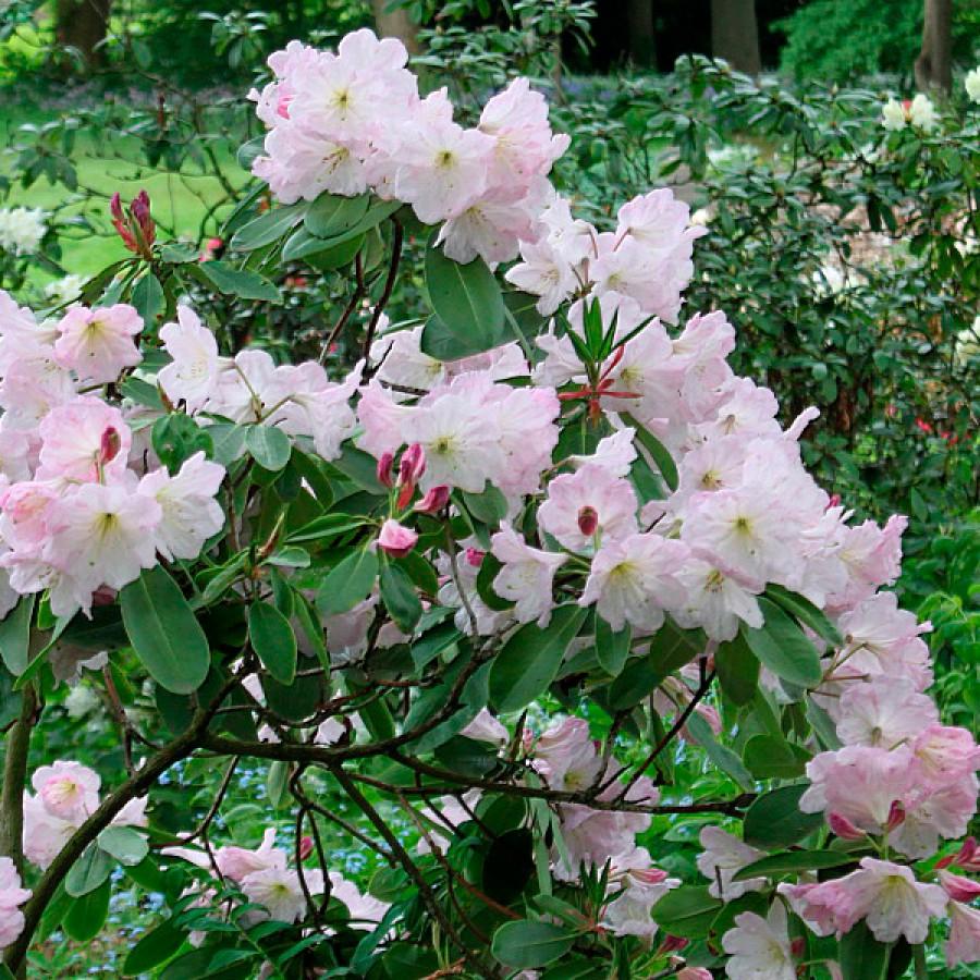 Рододендрон Форчуна (Rhododendron fortunei)