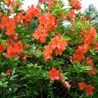 Рододендрон японский (Rhododendron japonicum)