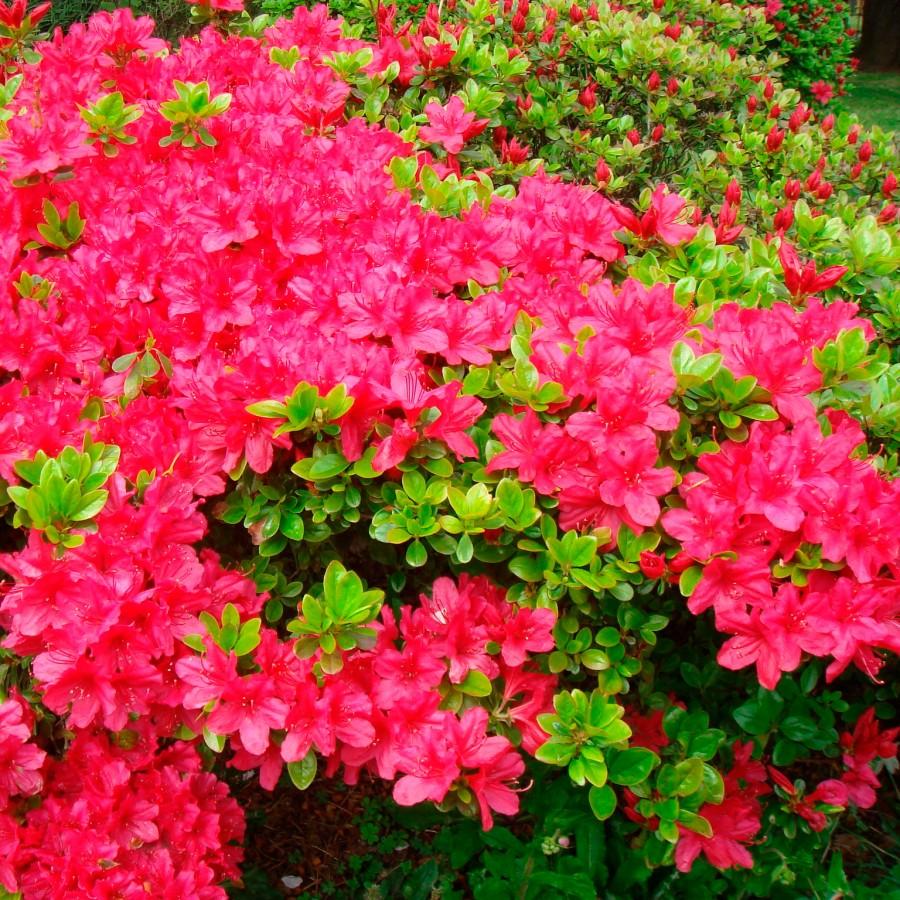 Рододендрон тупой (Rhododendron obtusum)
